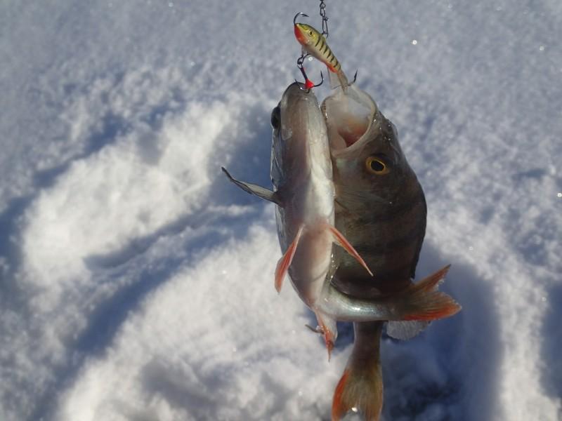 21.veebruar  2018 , Peipsi. Mõlemad kalad ca 100 grammi